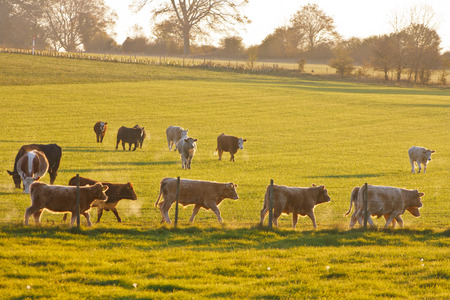 cotswold: English calves in a cotswold field at sunset backlit by the  sun on a cold winters day