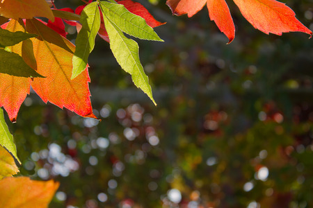 stock photograph: multi coloured autumn leaves backlit from the evening sun against a soft out of focus leaf background