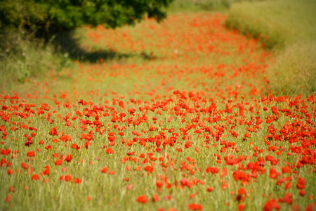 english countryside: poppy field in the English countryside