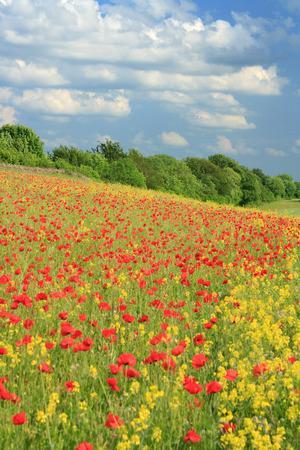 oil rape: poppy flowers in a field of oil seed rape