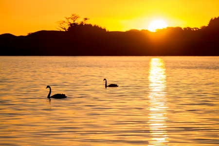 2 swans swimming on a lake in silhouette with a golden sunset