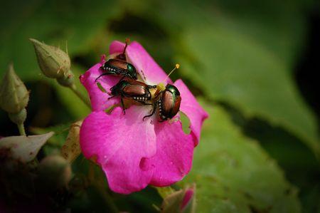 Beetles Eating a Rose