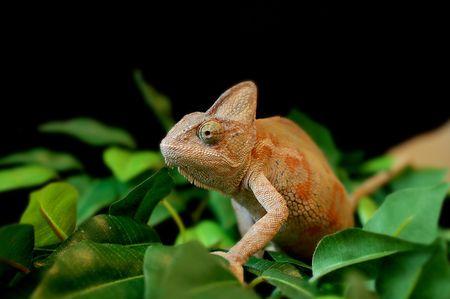 bearded dragon lizard on leaves