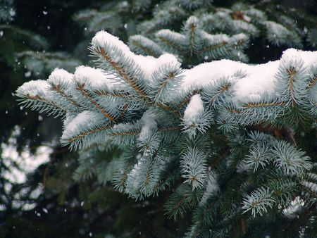 Blue Spruce pine tree branches covered with snow 版權商用圖片