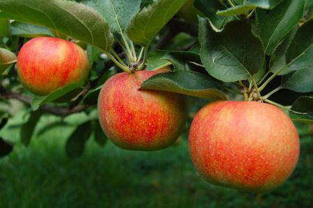 three tree ripend apples on tree in orchard 版權商用圖片