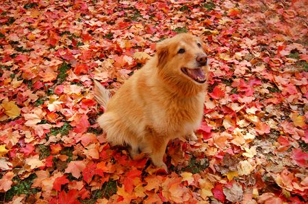 Golden Retriever mix in colorful autumn leaves 版權商用圖片