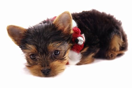 cute little  Yorkshire Terrier with red and white Christmas necklace - puppy on isolated white background Reklamní fotografie