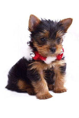 cute little  Yorkshire Terrier with red and white Christmas necklace - puppy on isolated white background 版權商用圖片