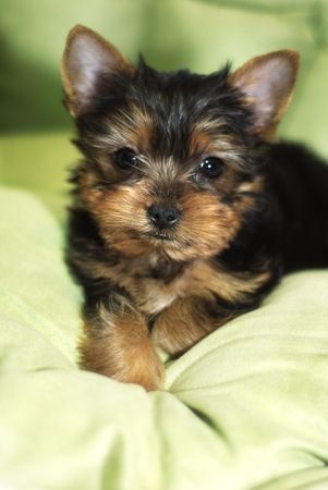 Yorkshire Terrier little pup sitting on green cushion