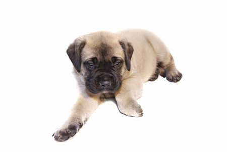 a very young fawn colored English Mastiff puppy on isolated white background