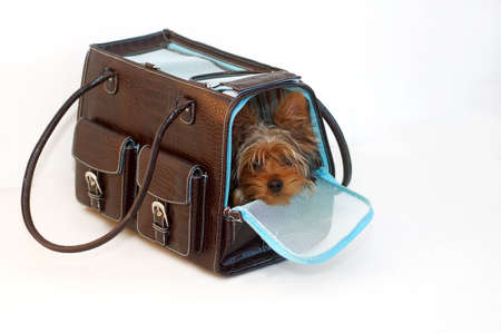 Yorkshire Terrier looking out of a brown and blue purse