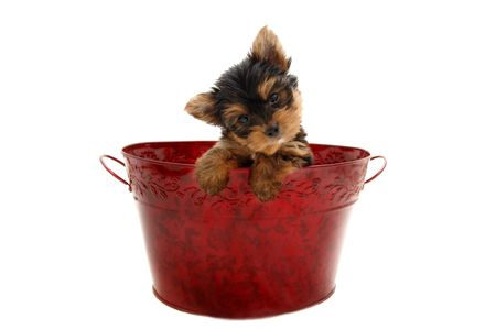 Yorkshire Terrier puppy sitting in a Christmas basket Stock Photo