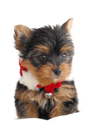 Portrait of a Yorkshire Terrier with a Christmas necklace