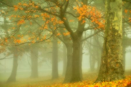 golden leaves and trees in autumn foggy morning