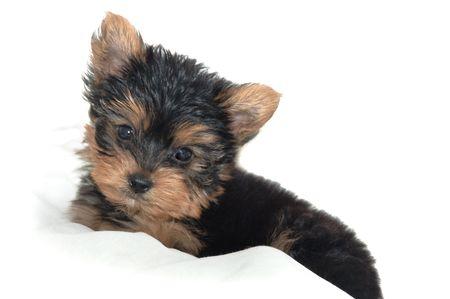Yorkshire Terrier puppy sitting against white background