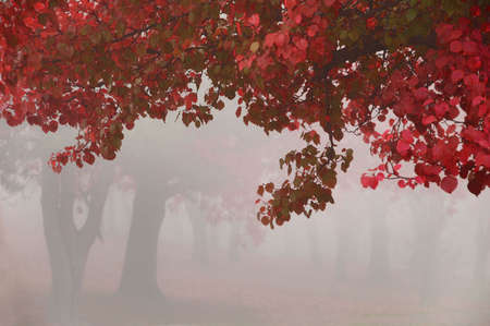 hanging leaves on a foggy morning with tree trunks in the background Stock Photo - 2183386