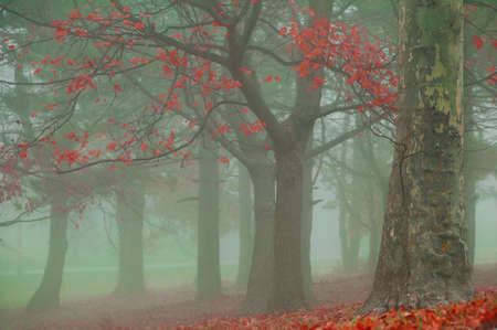 tree with colorful autumn leaves on a misty foggy morning