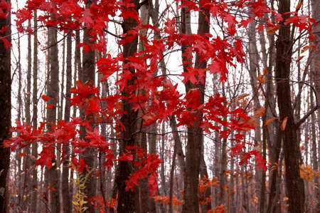 abstract view of the lines of trees in autumn with red leaves Stock Photo - 2330498