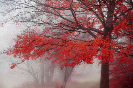 foggy morning in autumn with brilliant red leaves on tree Stock Photo