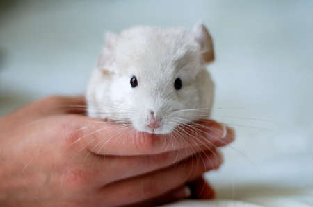 woman holding a  chinchilla in her hand Stock Photo