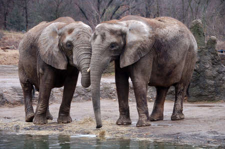 two large elephants together at watering hole Stock Photo