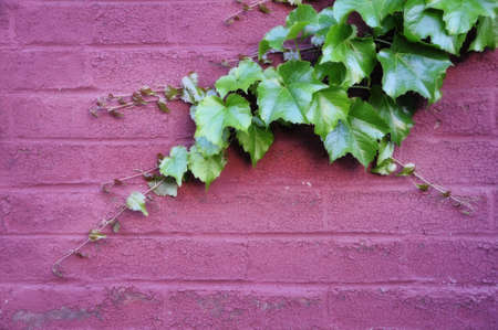 ivy wall: green ivy with new growth attached to a painted pink brick wall