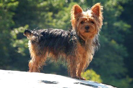 yorky: Yorkshire Terrier pie sobre la roca fuera