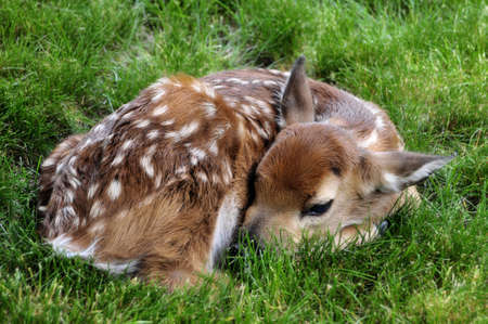 cute little fawn resting in the grass