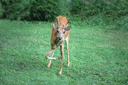 骨折した足と鹿