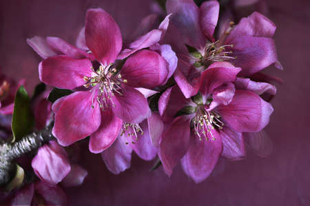 pretty pink crab apple blossoms with stem Stock Photo
