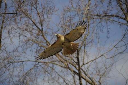 Hawk flying with wings spread