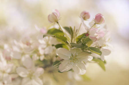 muted: soft and faded pastel apple blossoms against muted background Stock Photo