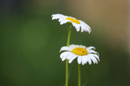 Close up of wild daisies with ant