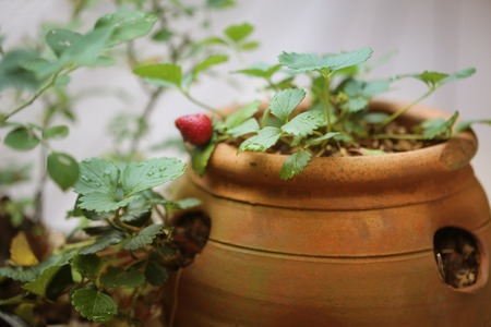Orange ceramic strawberry pot with plants