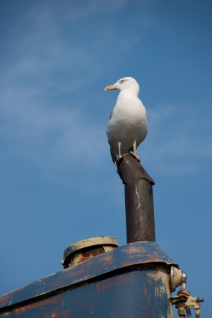 Seagull with background sky
