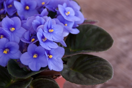 Violet Saintpaulia Stock Photo - 18748225