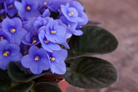 Violet Saintpaulia Stock Photo - 18748225