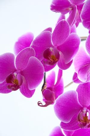 Beautiful Purple Orchid Detail