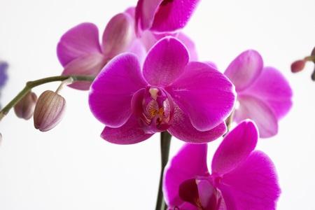 Beautiful Purple Orchid Closeup