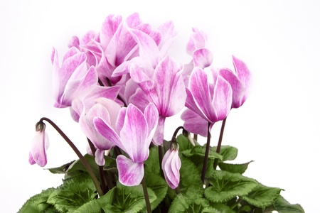 Detail of pink and white cyclamen isolated on white background Stock Photo