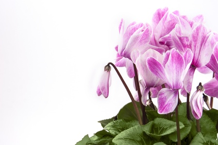Blossom of pink cyclamen isolated on white background