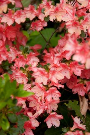 Beautiful pink azalea Stock Photo