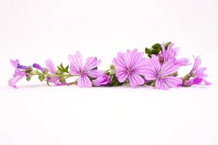 Wild mallow flowers isolated on white background
