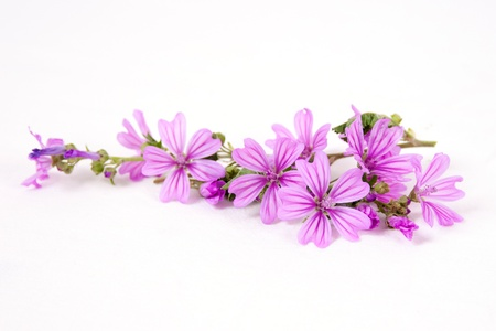 Pink mallow flowers isolated on white background