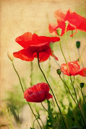 Vintage red poppy in a field of grass