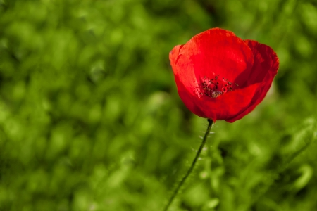 Lonely red poppy in a field of grass Stock Photo