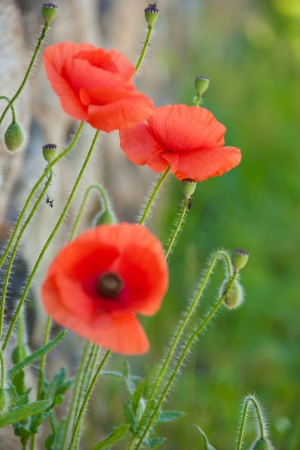 Red poppy in a field of grass Stock Photo