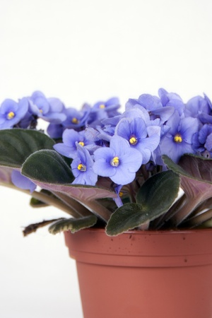 Detail of violet Saintpaulia on pot isolated Stock Photo - 18953623