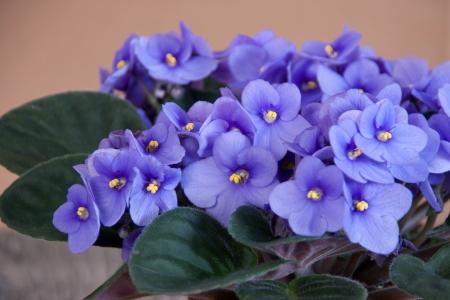 Detail of violet Saintpaulia on pot