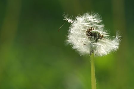 Blowball loosing seeds in the wind Stock Photo - 5464545